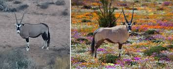 Gemsbok of the West Coast, South Africa